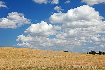 Field of wheat landscape.
