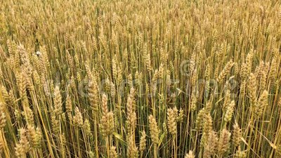 A field of wheat or rye on a sunny day. stock video