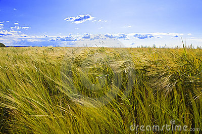 Field of wheat under azure sky