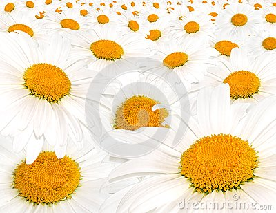 Field white camomile