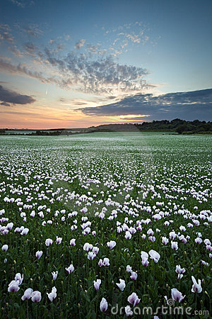 Field of white poppies at sunset