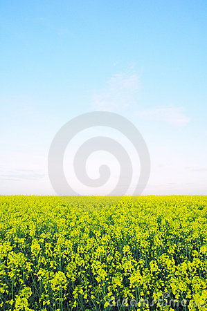 Field of Wild Mustard Flowers