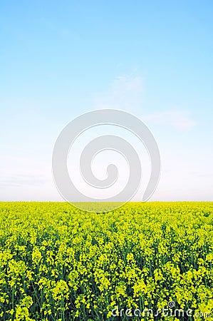 Field of Wild Mustard Flowers