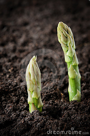 Free Field With Asparagus Royalty Free Stock Images - 19974259