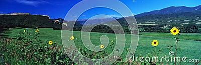Field of yellow daisies