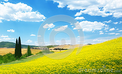 Field of yellow flowers Tuscany