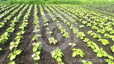 Field of young bean sprout on an agricultural plantation. stock footage