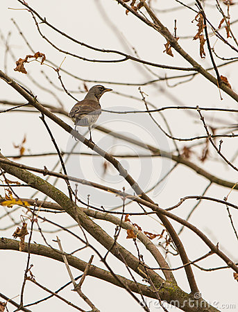 Fieldfare on leafless tree