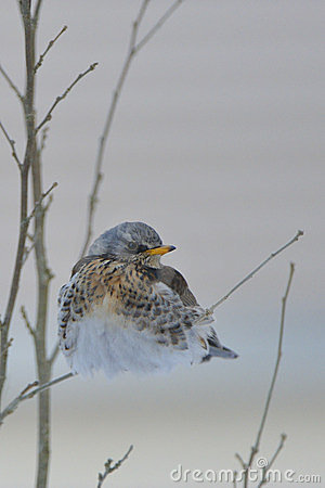 Fieldfare in the winter.