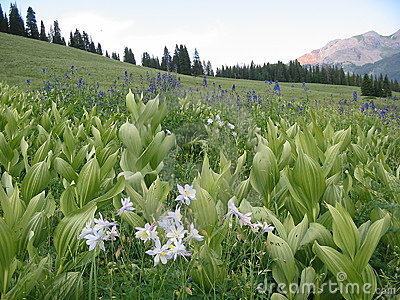 Fields of columbines