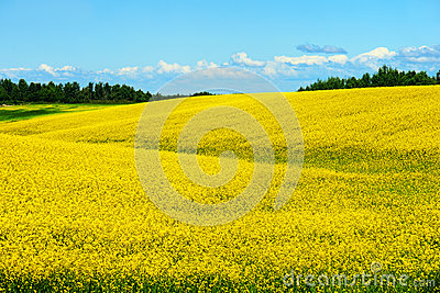 Hills of canola in bloom