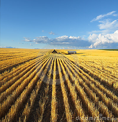 The fields of Montana