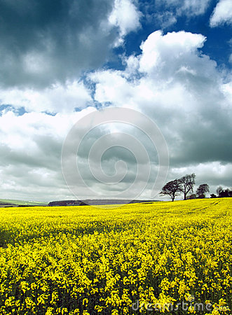 Free Fields Of Yellow Royalty Free Stock Photo - 51183875