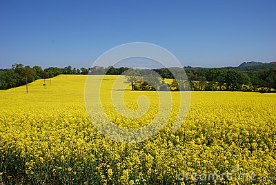 Fields of Rape Seed