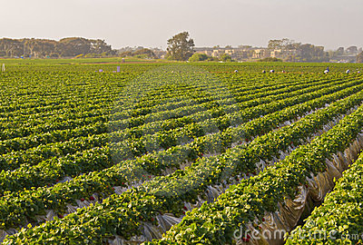Fields of Strawberries, Carlsbad California