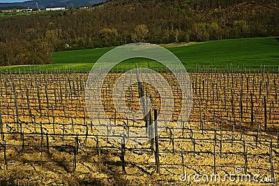 Fields vineyard