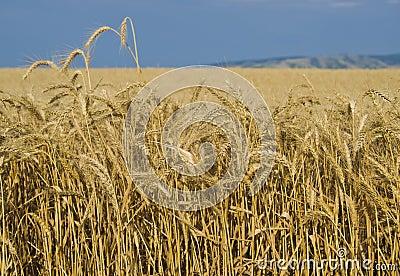 Fields of Wheat, Palouse, Washington