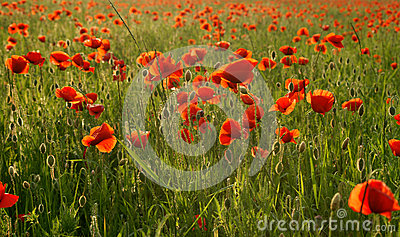 Fields of wonderful red poppies