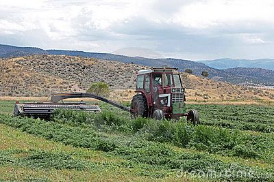 Fieno dell erba medica di taglio del coltivatore in estate