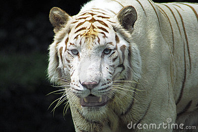 Fierce Rare White tiger