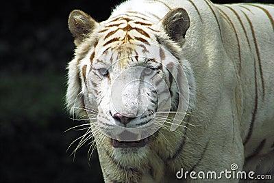 Fierce Rare White tiger