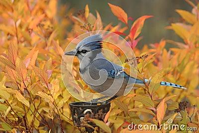 Fiery Blue Jay
