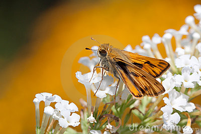 Fiery skipper butterfly drinks nectar