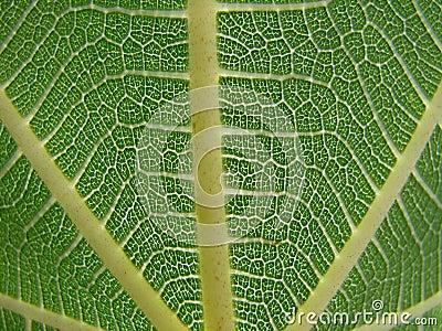 Fig leaf macro