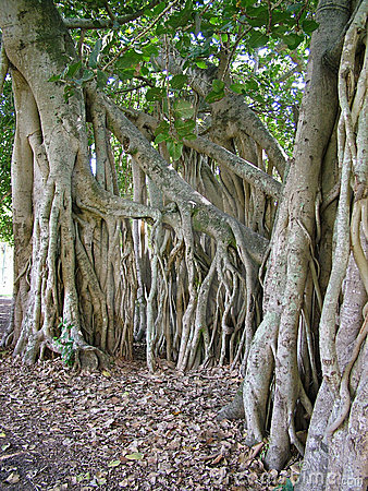 Fig tree roots #2