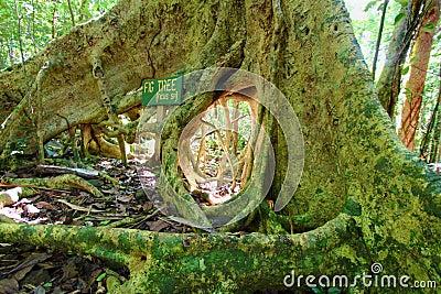 Fig Tree Roots British Virgin Islands