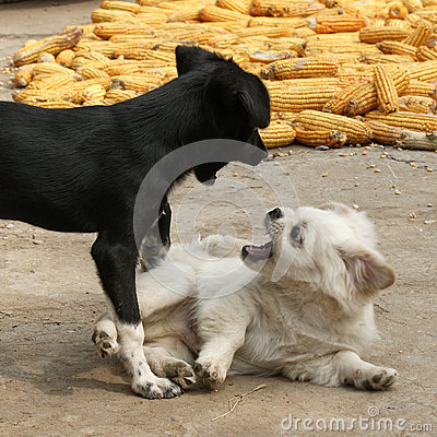 The fight between dogs