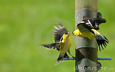 Fight at a feeder