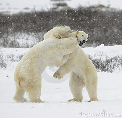 Fight of polar bears. 1