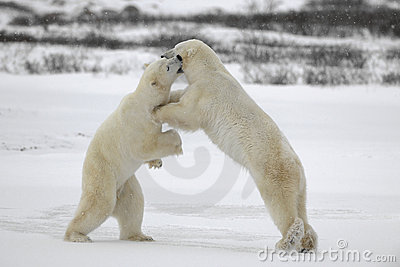 Fight of polar bears. 6