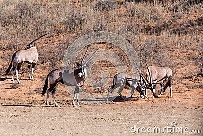 Fight Between Two Male Gemsbok, Oryx Gazella Stock Photo ...