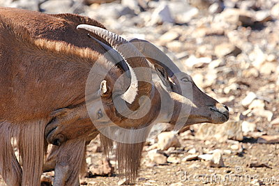 Fighting Barbary Sheep, Aoudads