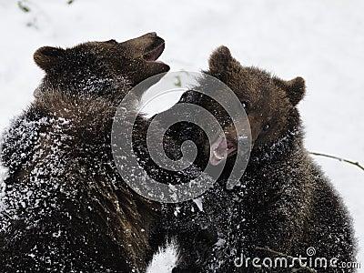 Fighting Bears ( Ursus arctos )