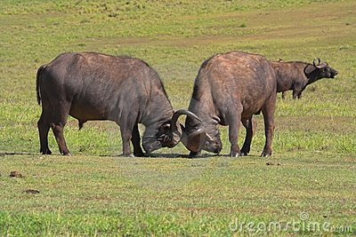 Fighting Buffalo