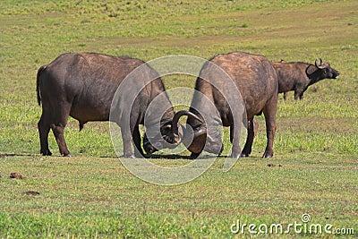 Fighting Buffalo