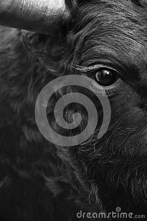 Free Fighting Bull Head Detail In Black And White Stock Photography - 46753352