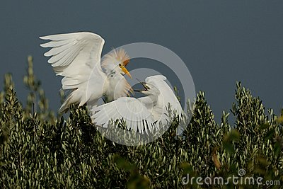 Fighting Cattle Egret
