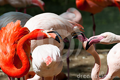 Fighting flamingos