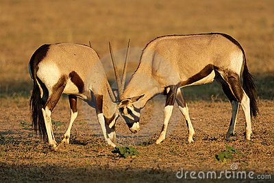 Fighting Gemsbok, Kalahari desert, South Africa