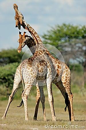 Free Fighting Giraffes, Etosha National Park, Namibia Royalty Free Stock Image - 1308696
