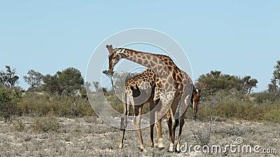 Fighting giraffes. Two giraffe bulls (Giraffa camelopardalis) fighting, South Africa
