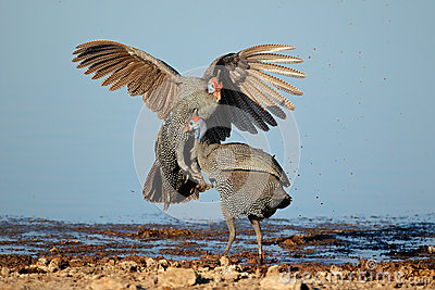 Fighting helmeted guineafowl