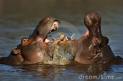 Fighting Hippo s