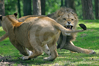 Fighting Lions Royalty Free Stock Image Image 2822516