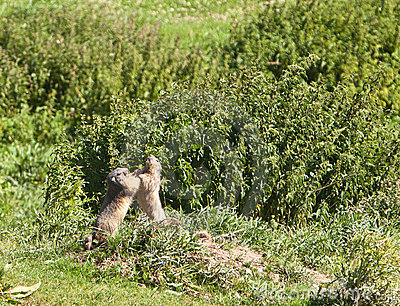 Fighting Marmots