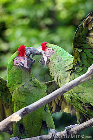 Fighting military macaws